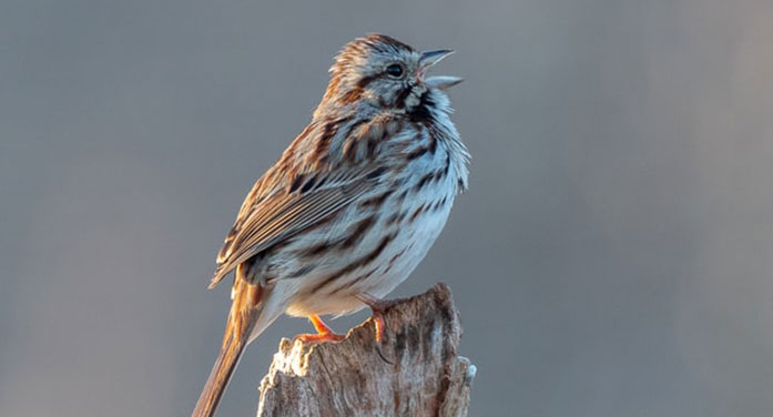 Why birds sing before winter weather breaks